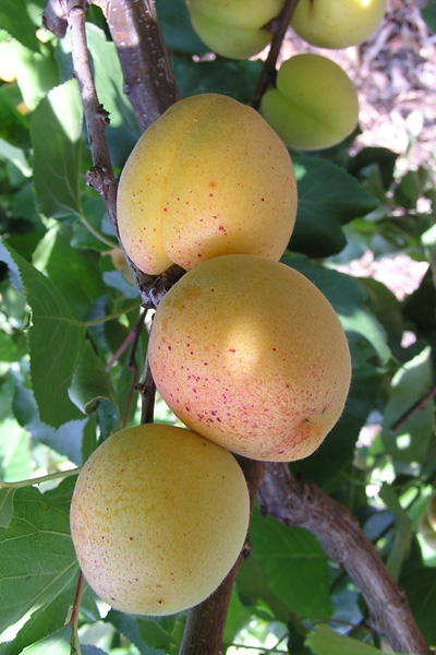 My Fruits Ultra Model